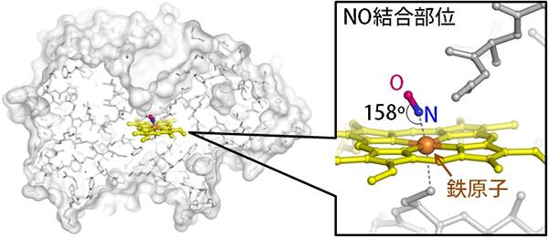 菌 膜 リリース (研究成果) マメ科植物と根粒菌の共生に関わる重要な遺伝子を発見